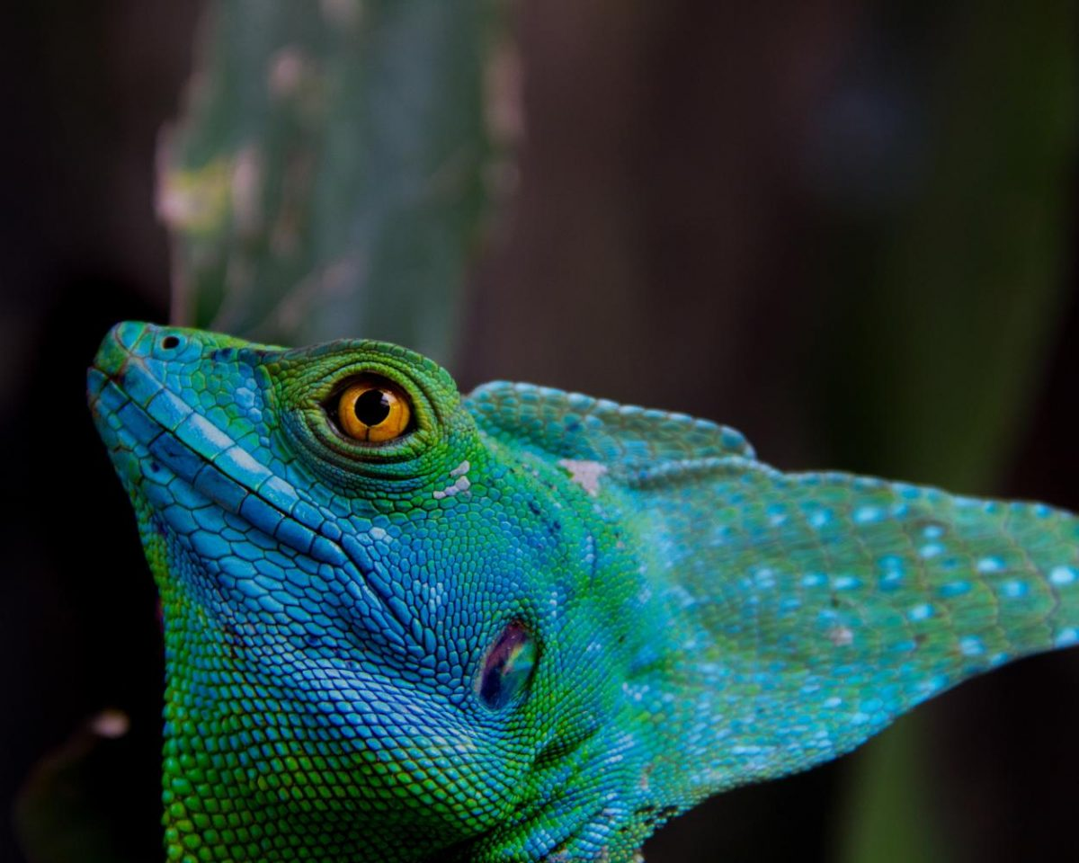 The Costa Rican Basilisk turns his head towards the light. These animals are known for their ability to run across water.