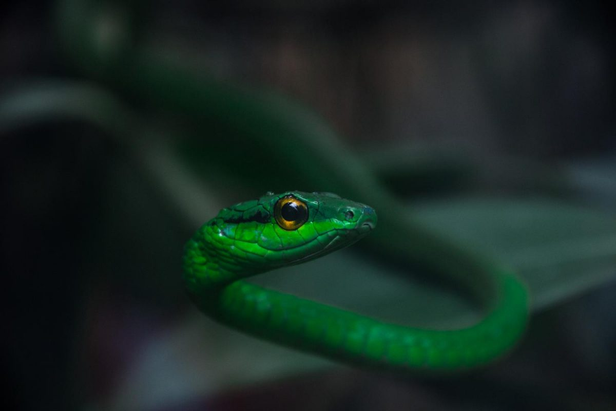 The Green Vine snake stares into the camera. These snakes are know for their vibrant green skin.
