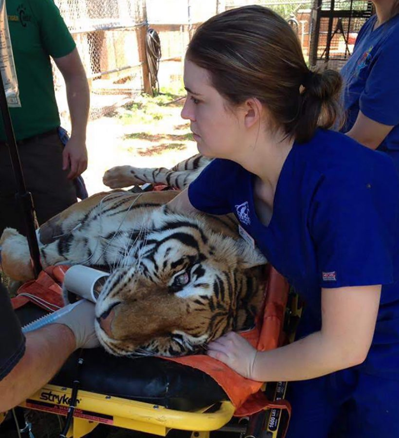 Morrow cares for a sick tiger. She previously worked as a veterinarian technician.