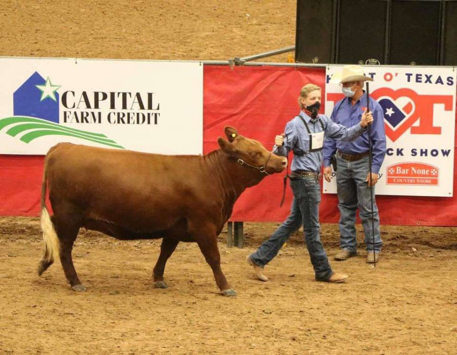 Senior+Tyler+Thompson+shows+a+heifer+at+the+Texas+State+Fair.++He+was+there+along+with+seniors+Katie+Smith+and+Easton+Rushing+%28not+pictured%29.+