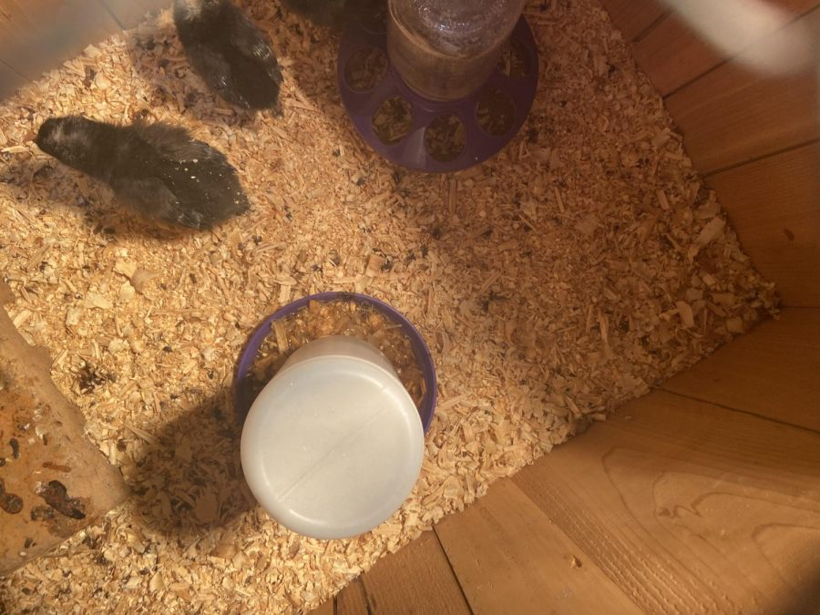 The baby chicks the classes hatched live in a house outside the classroom.
